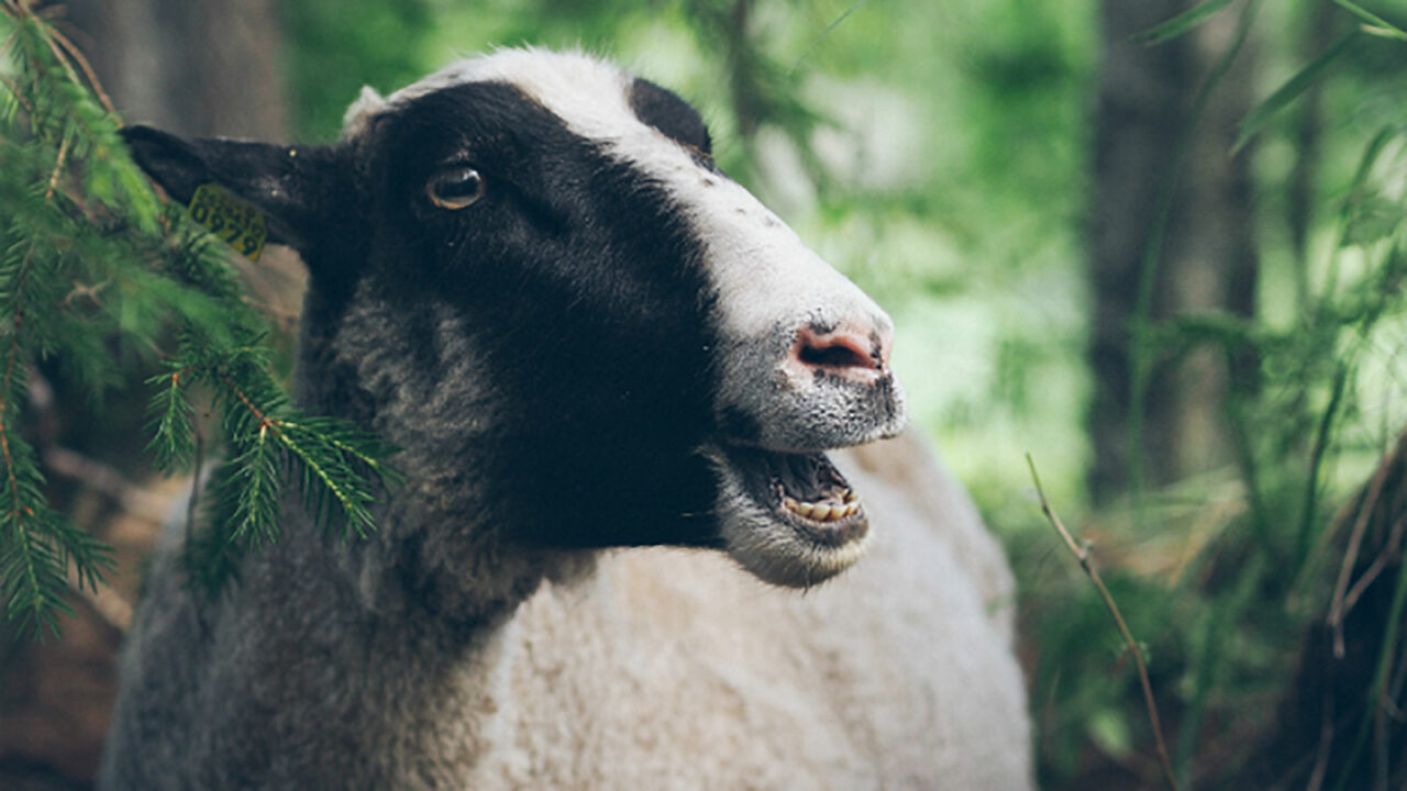 Lammas Hakamaan lammastilalla