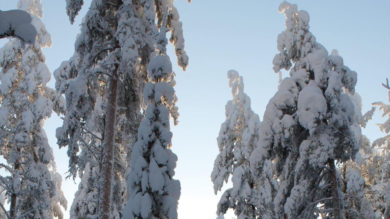 Snöiga träd på vintern